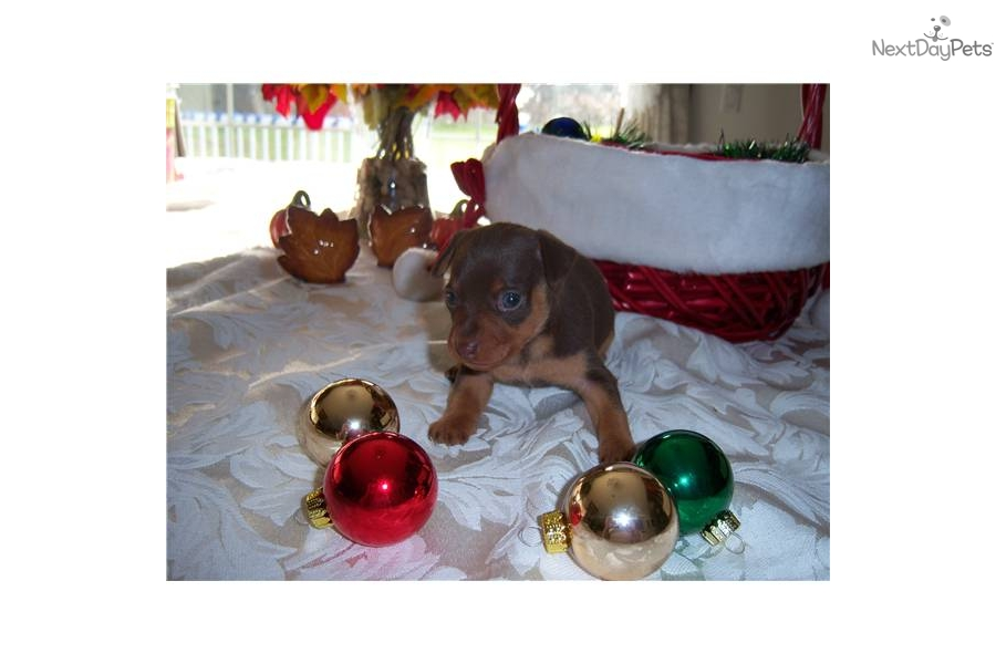miniature pinscher for sale syracuse ny - photo#9