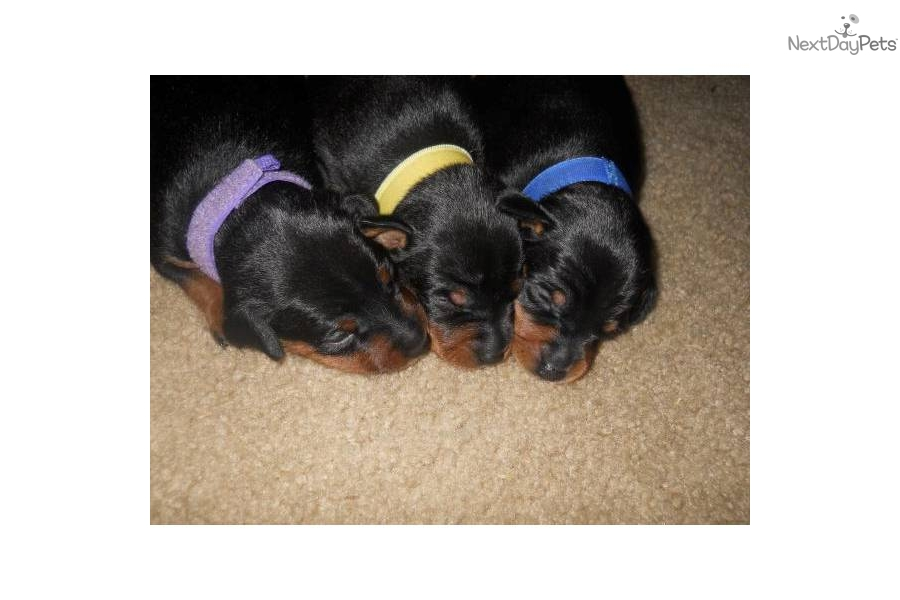 miniature pinscher for sale syracuse ny - photo#7