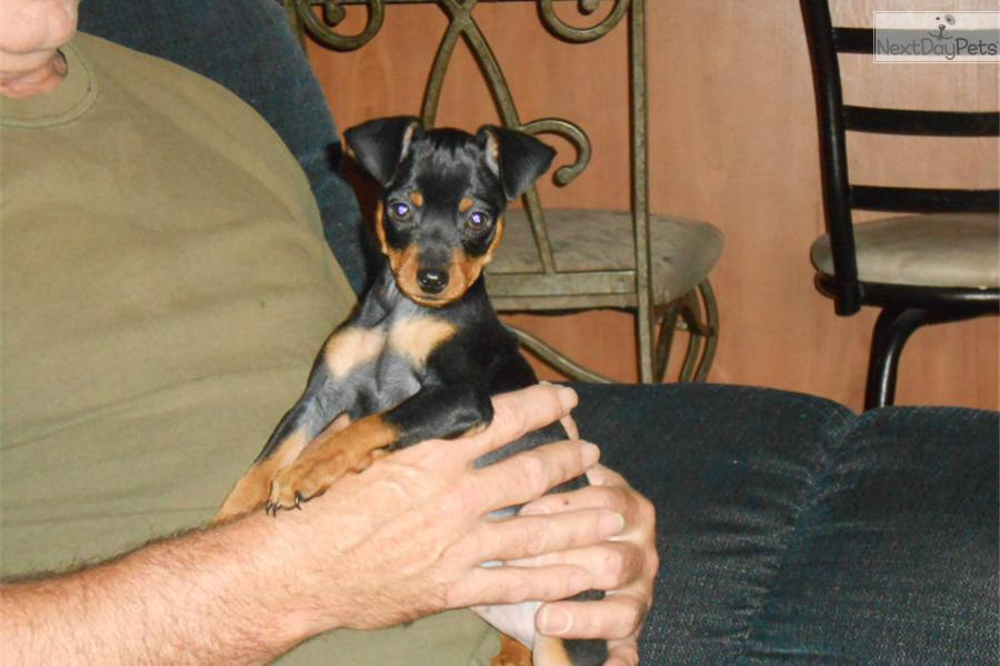 miniature pinscher for sale syracuse ny - photo#1