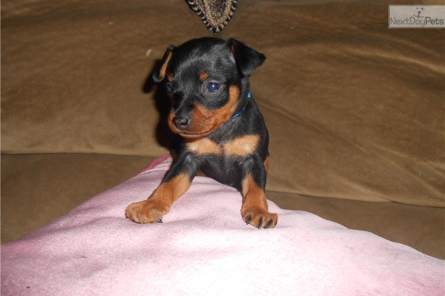 miniature pinscher for sale syracuse ny - photo#3