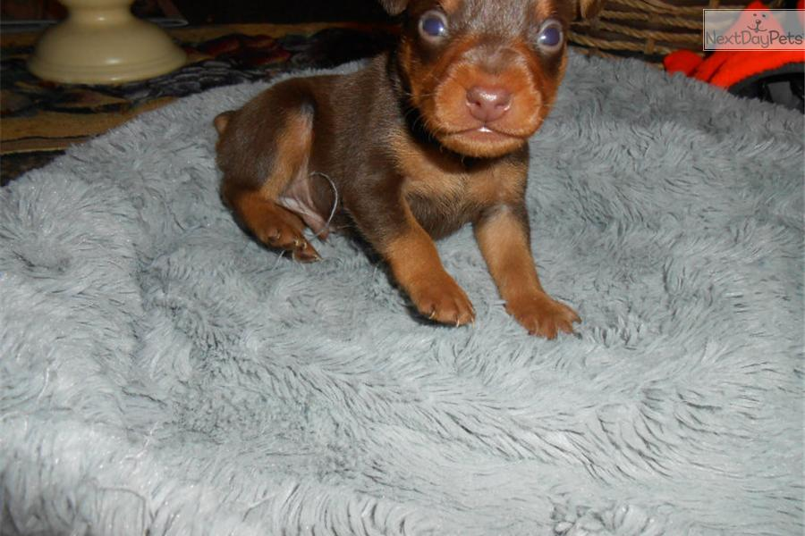 miniature pinscher for sale syracuse ny - photo#5