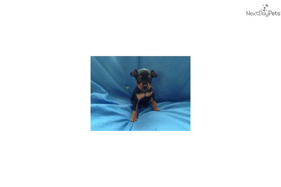 miniature pinscher for sale syracuse ny - photo#17