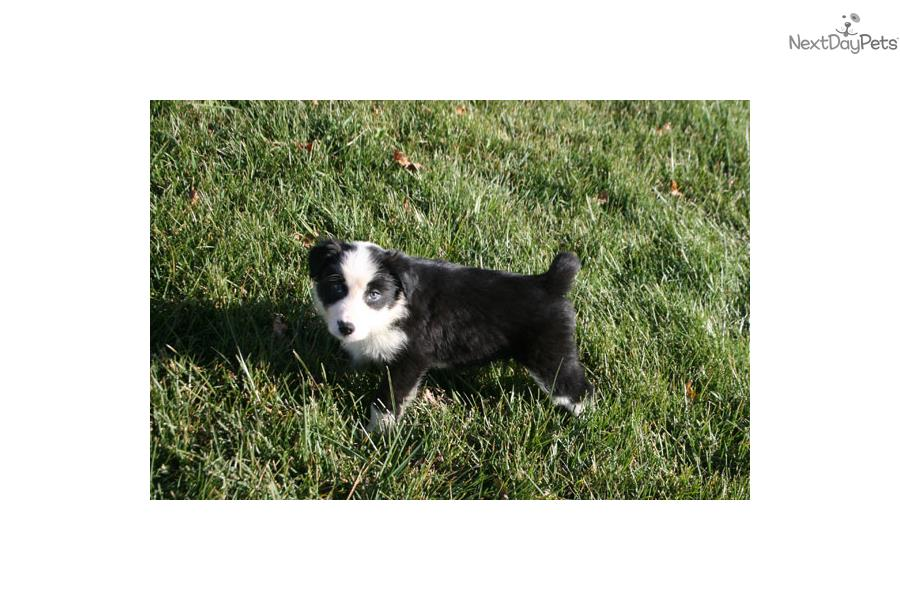 D B Farm Border Collies Border Collie puppy for sale