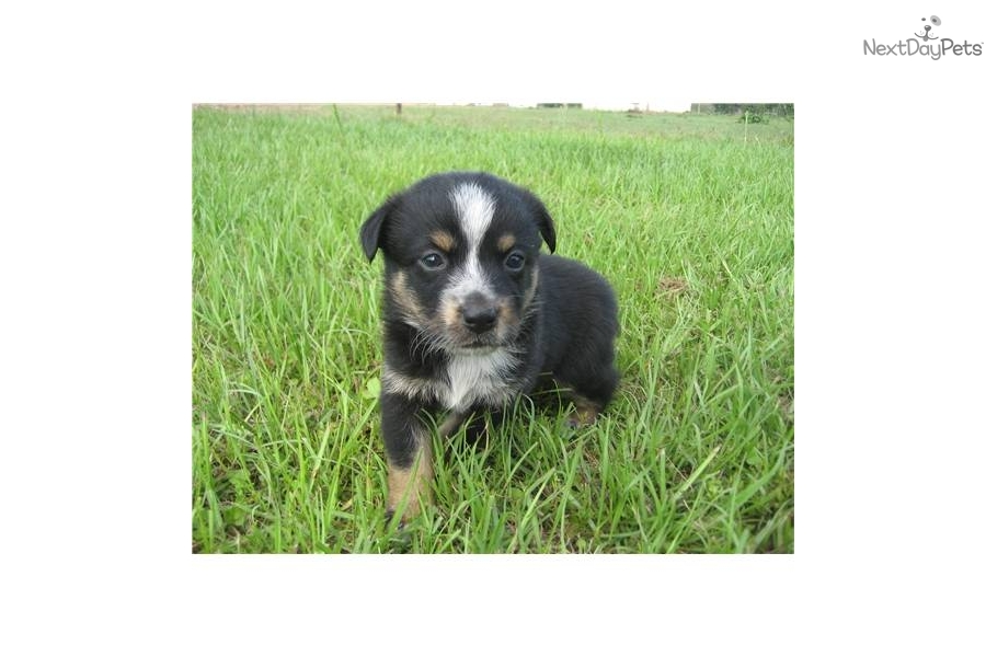 mini-texas-heeler-g5dog-australian-cattle-dog-blue-heeler-puppy