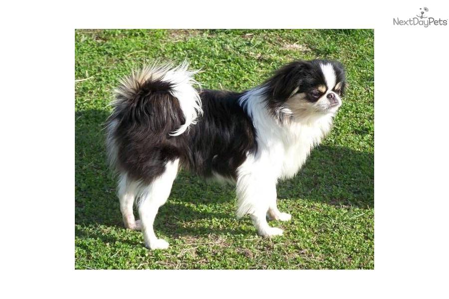 Japanese Chin Akc Japanese Chin puppy fo...