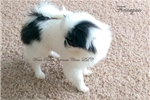 Picture of Tiny Finnegan from the Woita Ranch:   Neutered