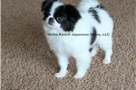 Picture of Mazy from Woita Ranch Japanese Chins, LLC