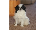 Picture of Miss Stella from Woita Ranch Japanese Chins!