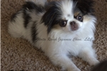 Picture of Rare & Tiny Japanese Chin Girl ~ KeKo