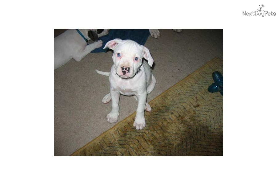 American Bulldogs For Sale Next Day Pets | Dog Breeds Picture