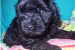 Picture of Beautiful Cockapoo Puppy Indiana/Kentucky