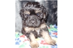 Picture of Beautiful Maltipoo Puppy For Sale Indiana/Kentucky