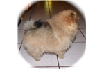 Picture of DEE DEE'S POMS AKC