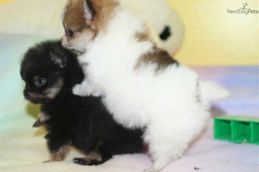 Boston Beagle Terrier Mix  The Boglen Terrier  Dog Breed