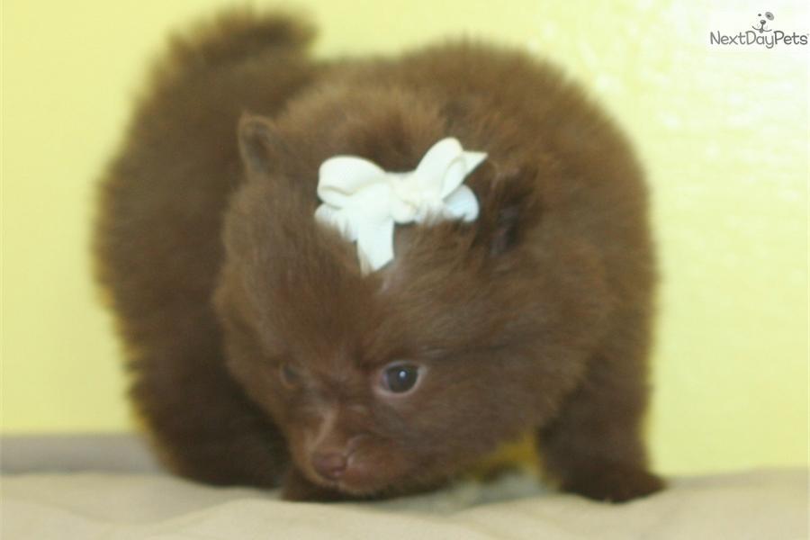 Chocolate pomeranian puppy
