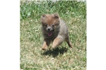 Picture of a Pomeranian Puppy