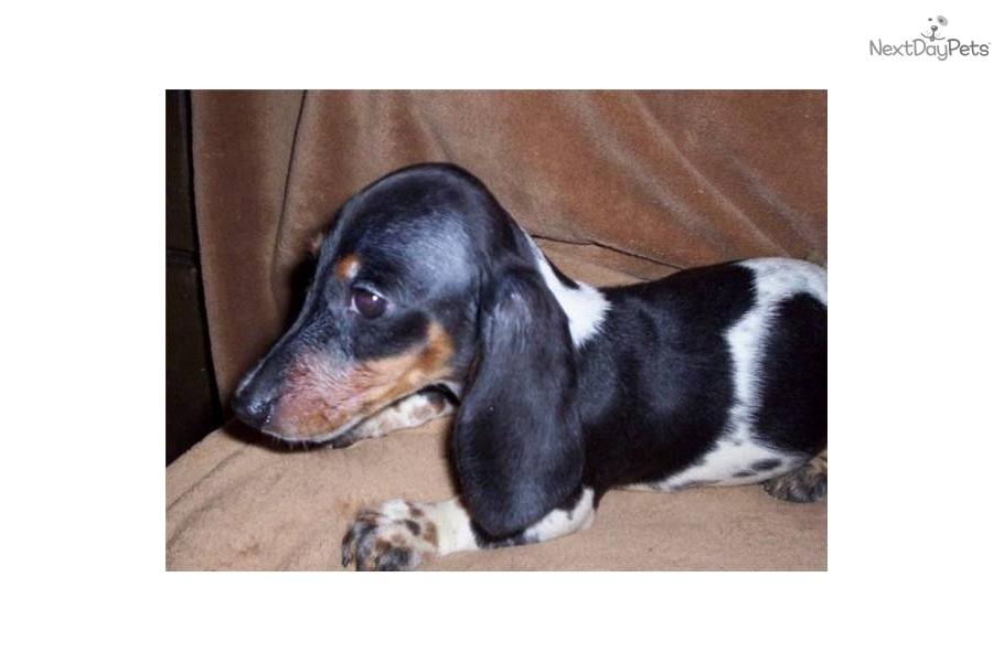 piebald-dachshund-male--550-includes-shippingdog-dachshund-puppy ...