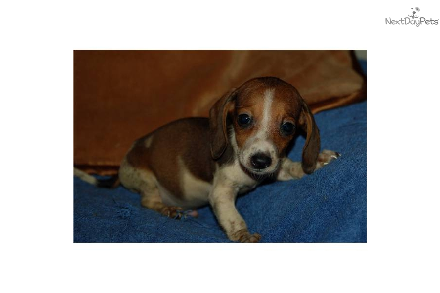 Pics Photos - Male Piebald Dachshund Puppies Napoleon And Little ...