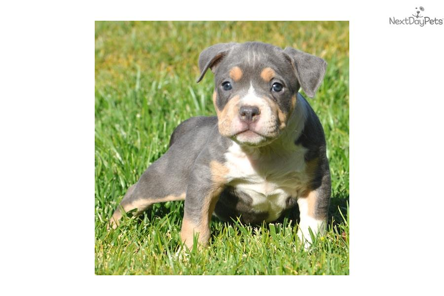 American Pit Bull Terrier Puppy Picture 8d0cd366 61c4 4826 9675 ...
