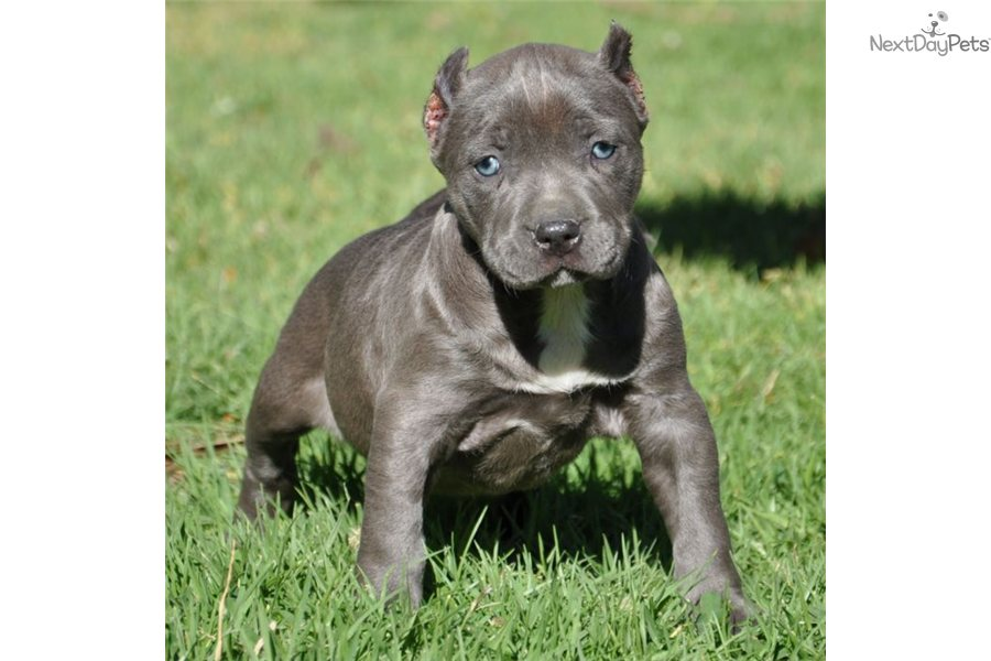 Blue Pitbull Puppies For Sale American Pit Bull Terrier Bullygods