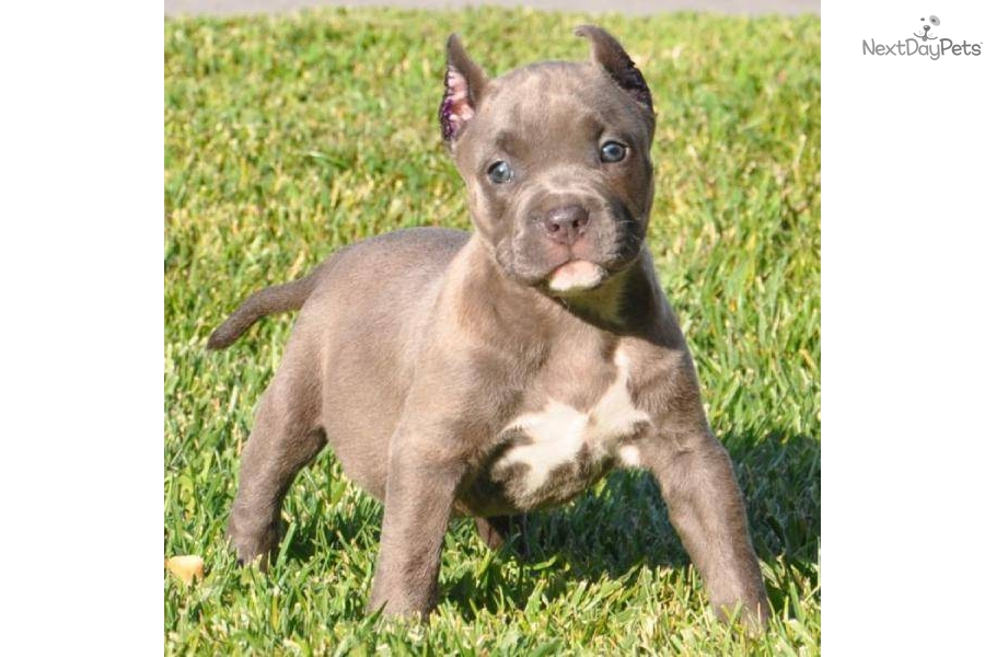 Pocket Pitbulls Puppies For Sale | Dog Breeds Picture