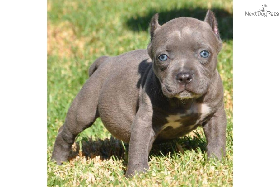 American Pit Bull Terrier Puppy For Sale Near Los Angeles