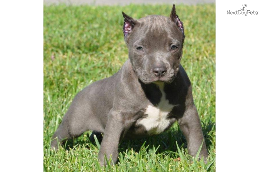 American Pit Bull Terrier puppy for sale near Los Angeles, California ...