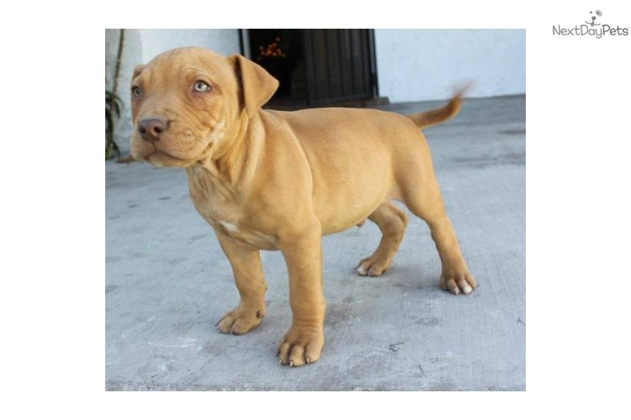 Purebred red nose pitbull puppy
