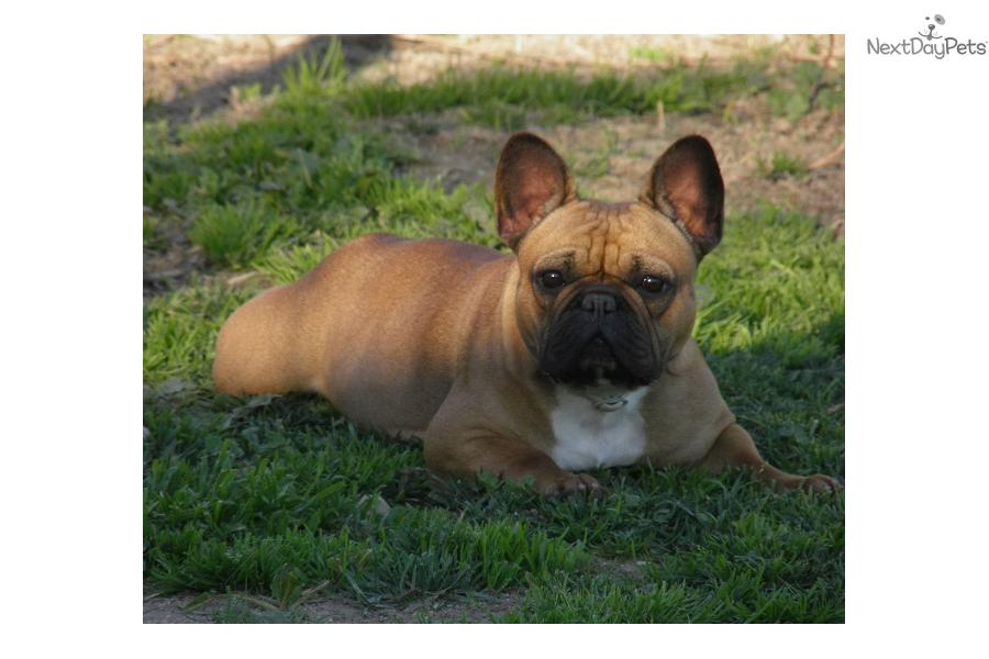 french bulldog puppy for sale near los angeles california