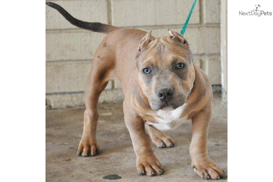 "HERCULES"" INCREDIBLE RARE TRI-COLOR BULLY PUPPY!"