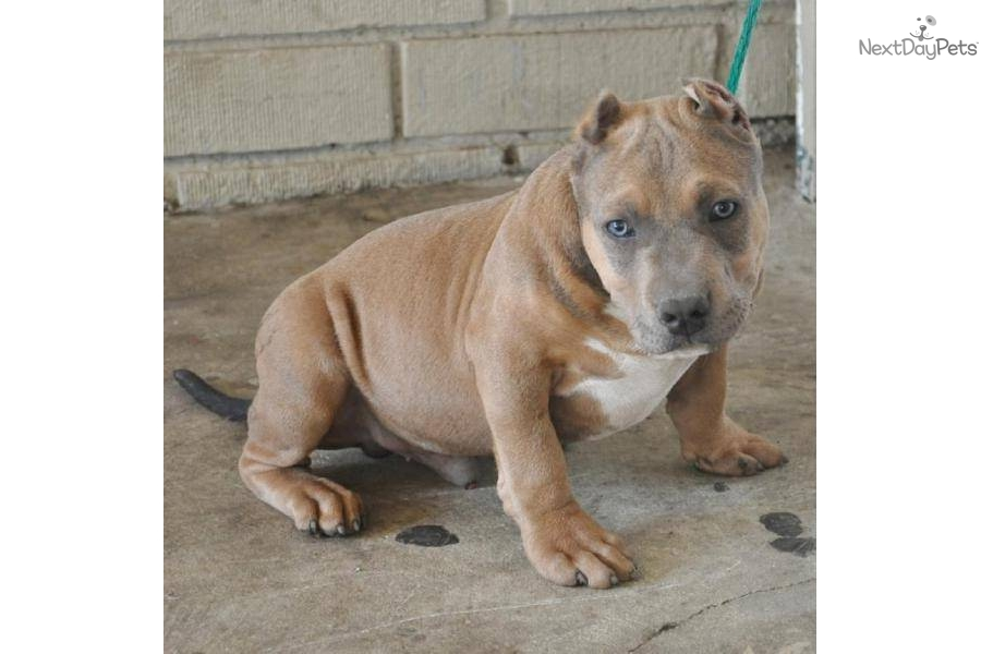 tri color extreme bully pitbull to download tri color extreme bully ...