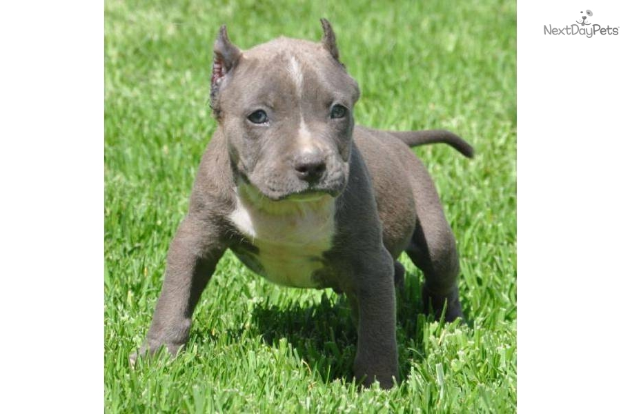 Princesuper pocket bully male1500dog american pit bull terrier puppy