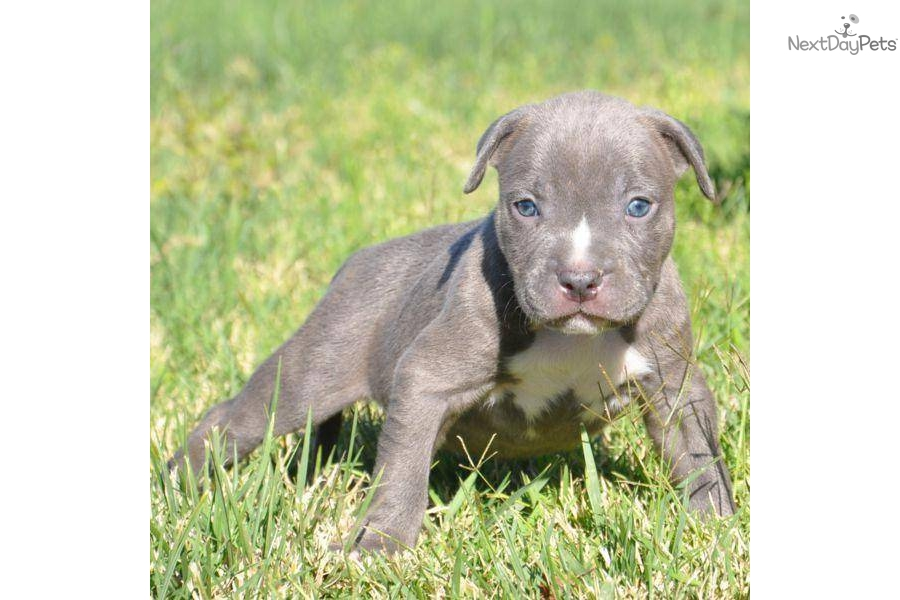 american pit bull terriers essay American pit bull terrier puppies for they are adba registered ad vet checked with papers, if you are interested in my pit bull puppies then you can just text.