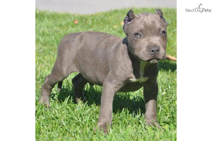 American Pit Bull Terriermastiff Mix Puppy For Sale In Los Angeles ...