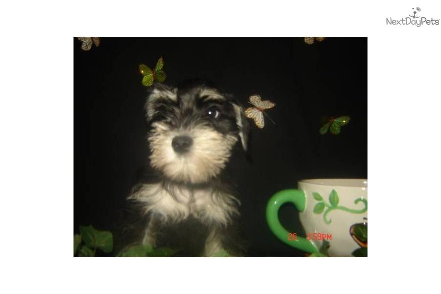 long-island-ny-mini-schnauzer-babiesdog-schnauzer-miniature-puppy ...