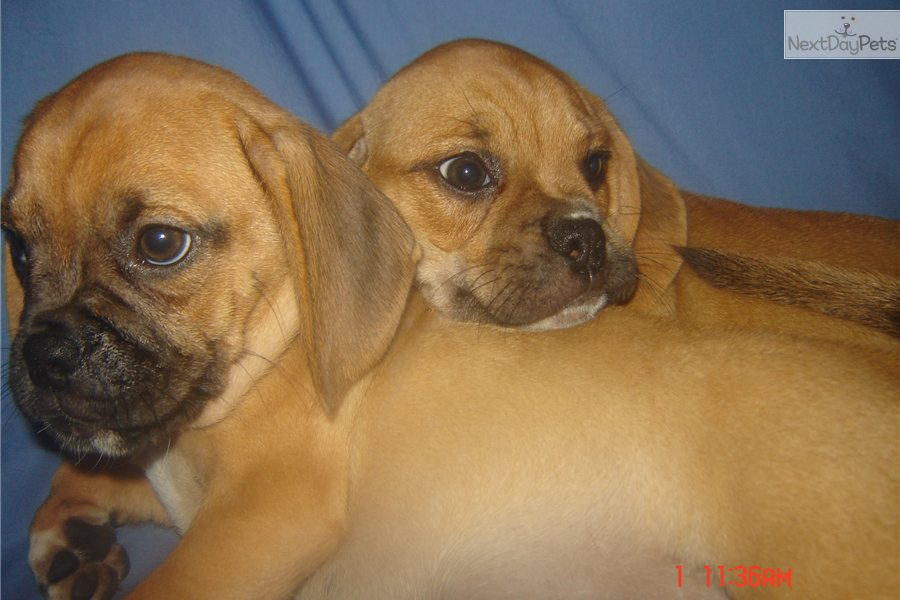 puggles for sale near me
