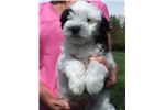 Picture of Male Lowchen Puppy black and white