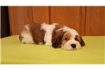 Picture of LOWCHEN - HAVANESE now Cupids Lowchen