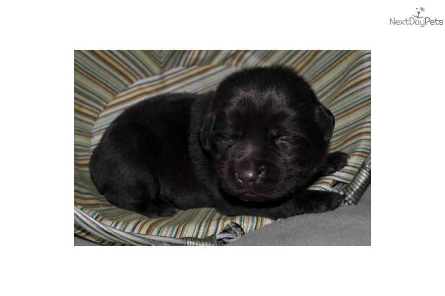 English Chocolate Lab Puppies For Sale In Michigan Hdjpg   Dog Breeds ...