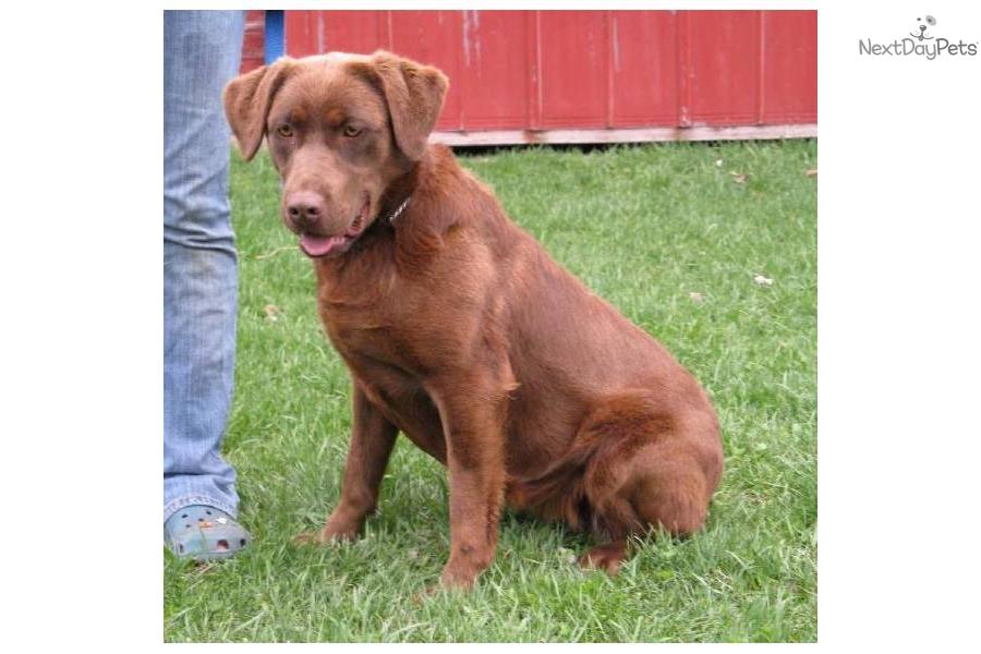 Labrador Retriever for sale for $550, near Grand Rapids, Michigan ...