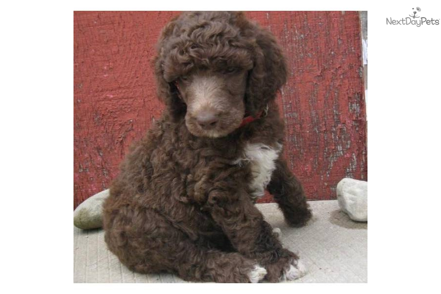 Poodle, Standard puppy for sale near Grand Rapids ...
