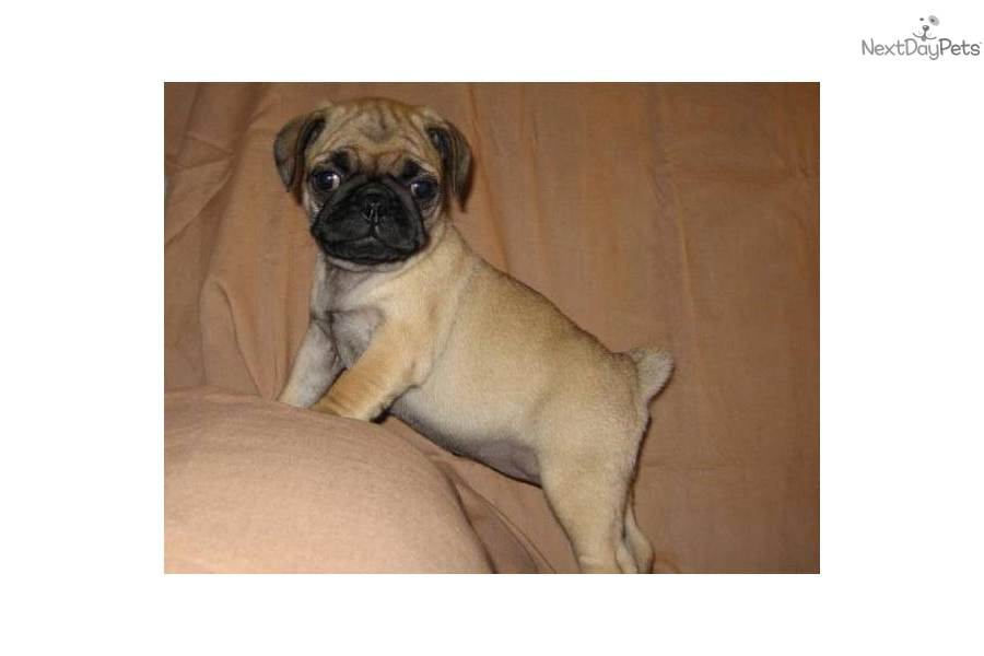 meet wrinkles a cute pug puppy for sale for  500  akc apricot pug female  u0026quot wrinkles u0026quot