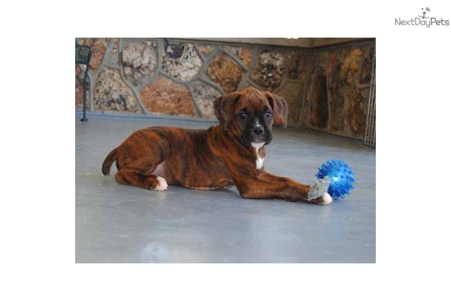 Boxer Puppy for Sale: AKC Boxer Female Mahogany Brindle