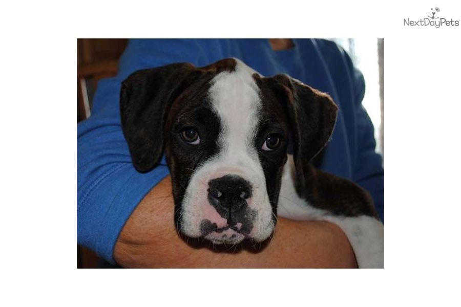 Brindle Dogs Names Flashy Brindle Boxer File Name