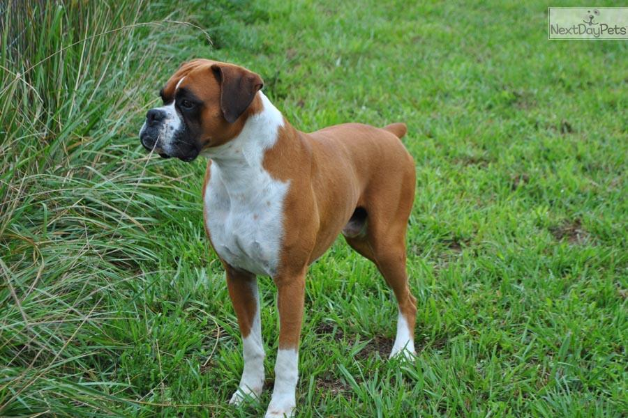 Akc boxer male flashy fawn quot kipper quot ch lines boxer puppy for sale