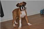 AKC Boxer Fawn Female