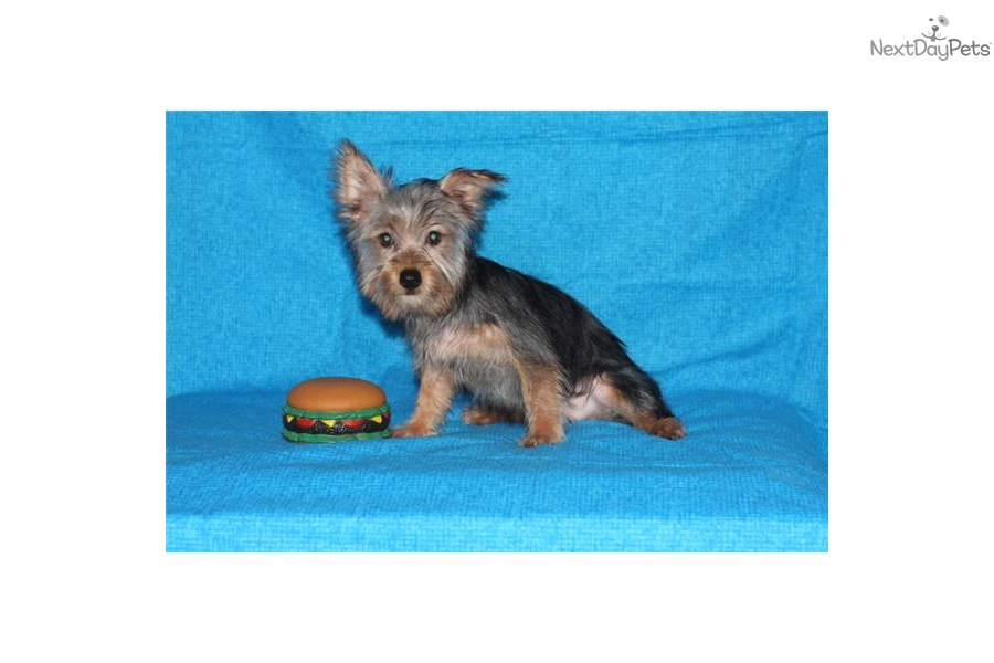 Meet Scooter A Cute Silky Terrier Puppy For Sale For 250