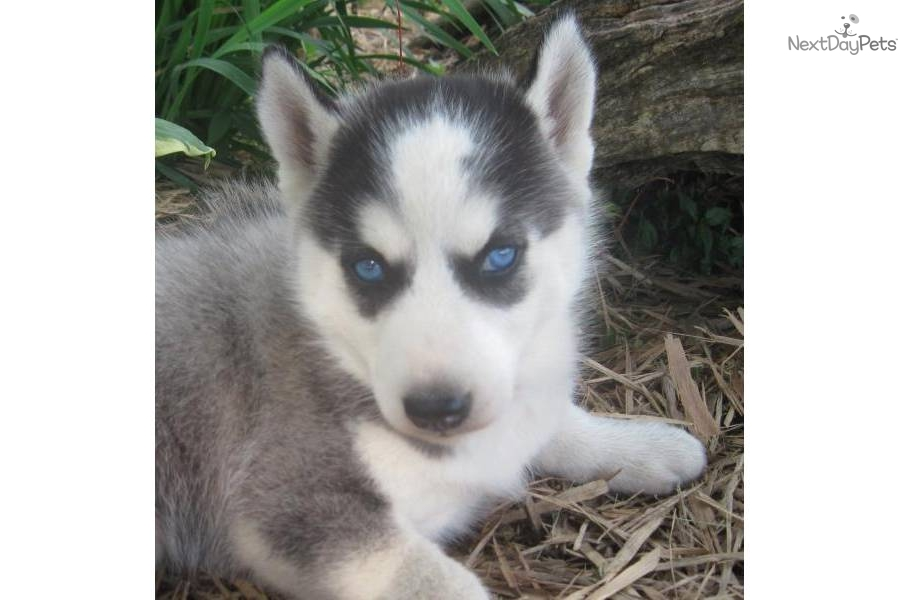 Siberian Husky for sale for $350, - 208.4KB