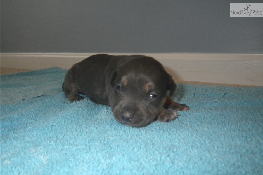 Bully Dog For Sale In Rochester Ny