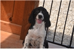 Picture of Blacky - Gorgeous Black & White Female